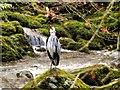 NY3804 : Grey Heron Standing in Stock Ghyll by David Dixon