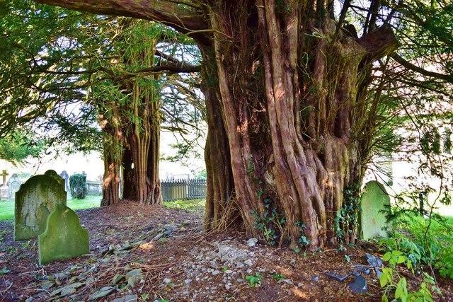 Heyope Old Yew Trees