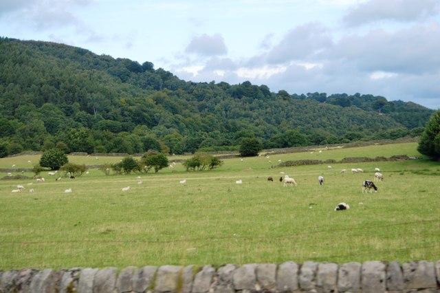 Sheep grazing, Nether Padley