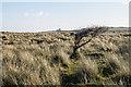 NU1437 : Windswept tree by Ian Capper