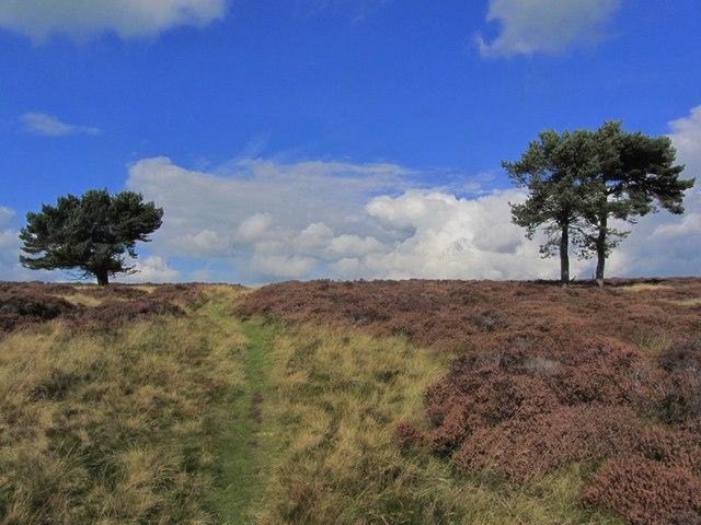 Isolated pine trees Longstone Moor