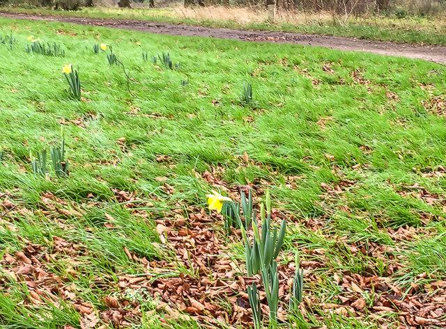 December daffodils