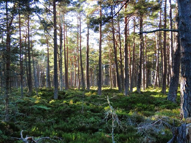 Pine woods on the banks of Loch Garten