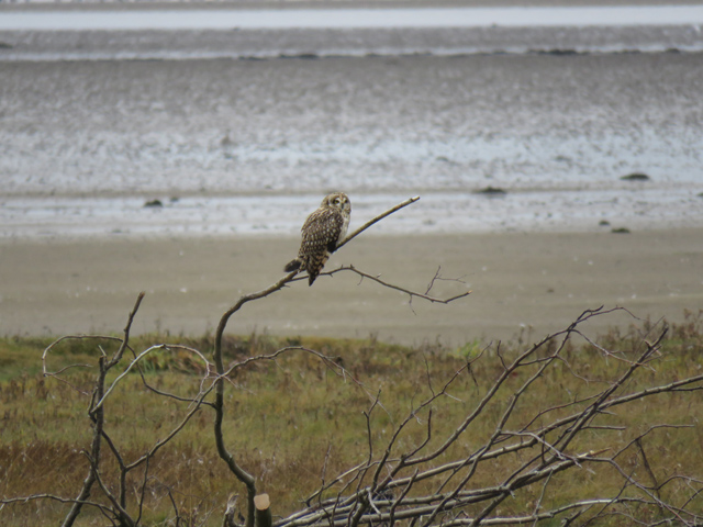 Short-eared owl at Findhorn Bay