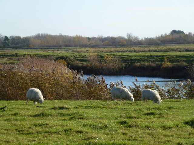 Sheep grazing by the gravel pits near Needingworth