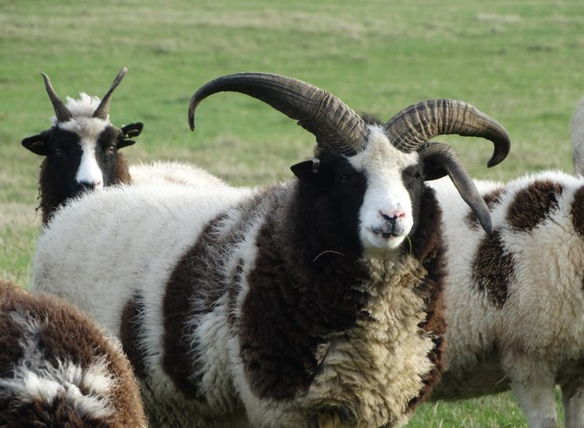 Jacob sheep at Yew Tree Farm