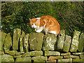 SK2371 : Cat at Pilsley by Trevor Rickard