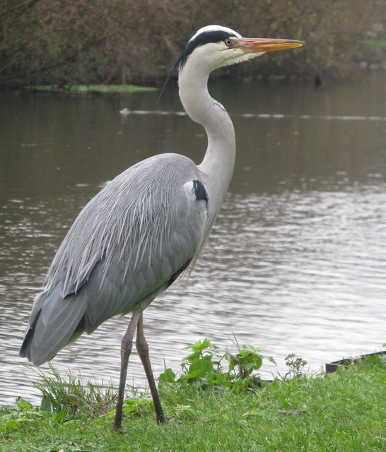 Heron by the River Lea