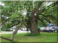 SO1191 : Native Black Poplar, Newtown, Powys by Robin Stott