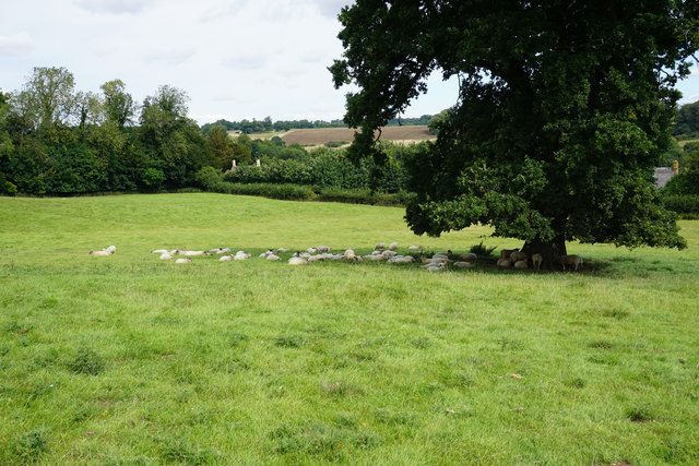 Sheep under a tree near Great Tew