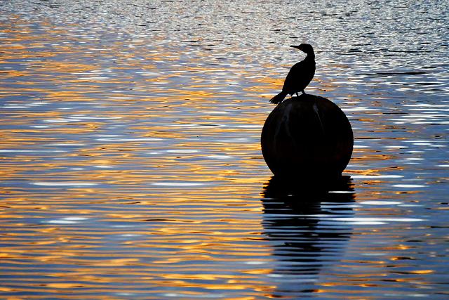 Cormorant at The Quays