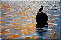 SJ8097 : Cormorant at The Quays by David Dixon