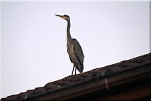 SJ3999 : Rooftop heron, Waddicar, Melling by Mike Pennington