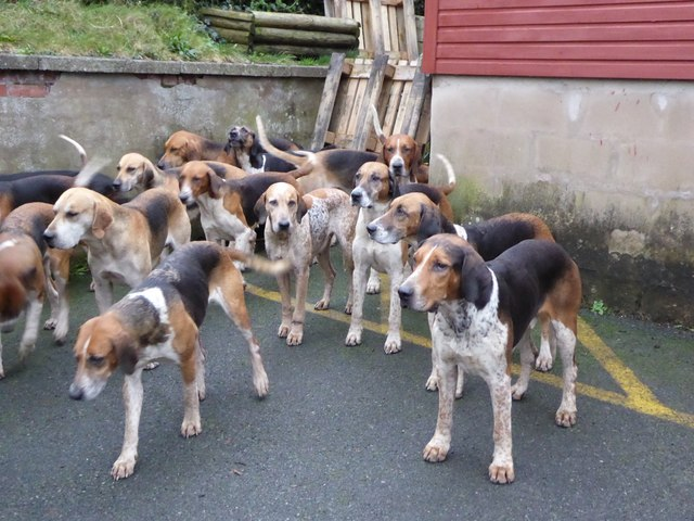 Foxhounds at the Boxing Day Meet