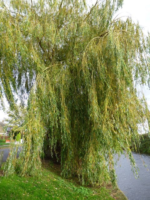 Another view of a willow