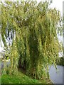 SK5335 : Another view of a willow by David Lally