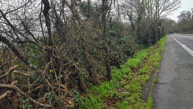 Ancient Hedge on South Side of Enfield Road