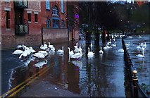 SO8454 : Swans at dusk, South Parade, Worcester by P L Chadwick