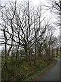NY2431 : Winter trees alongside the road to Orthwaite by Christine Johnstone