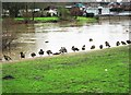 SO7875 : Canada geese on bank of River Severn, Bewdley, Worcs by P L Chadwick