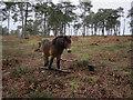 SU8935 : Exmoor Pony, Hind Head by Hugh Venables