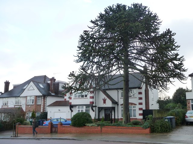 Large monkey puzzle tree, Chandos Avenue, Whetstone