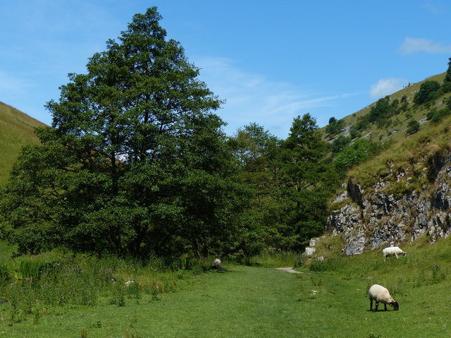 Sheep grazing the path in Wolfscote Dale