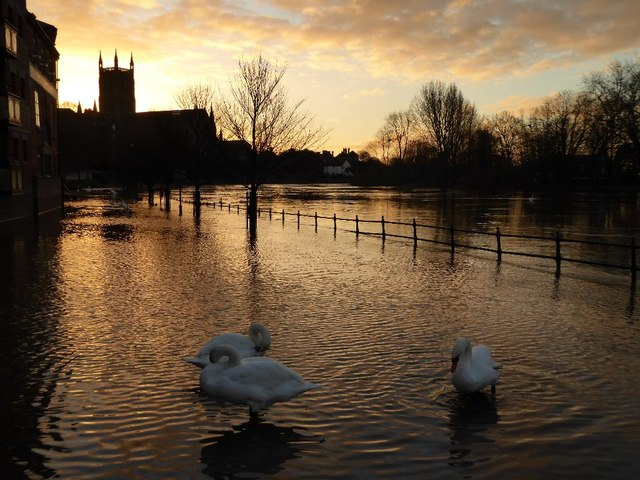 Swans in floodwater at dawn