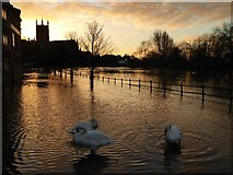 SO8454 : Swans in floodwater at dawn by Philip Halling