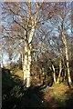 SE4599 : Birches on the Cleveland Way / Coast to Coast Walk by Derek Harper