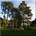 SE7169 : Scots pines, Castle Howard by Ian Taylor