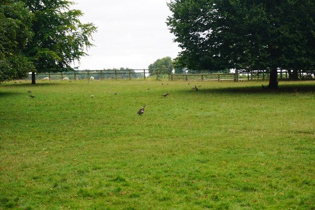 Pheasants and sheep in Blenheim Great Park