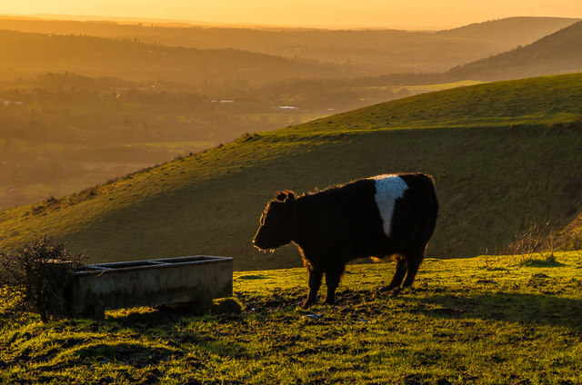 Belted Galloway on Colley Hill