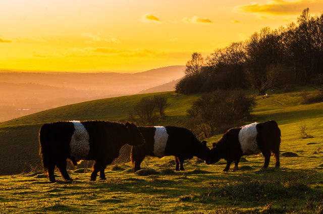 Belted Galloways on Colley Hill