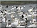 NY0565 : The Whooper pond at Caerlaverock by M J Richardson