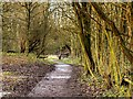 SJ5799 : Path Through Skitters Wood by David Dixon