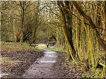 SJ5799 : Path Through Skitters Wood by David Dixon