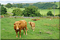 SK1152 : Cows near Throwley Old Hall by Bill Boaden