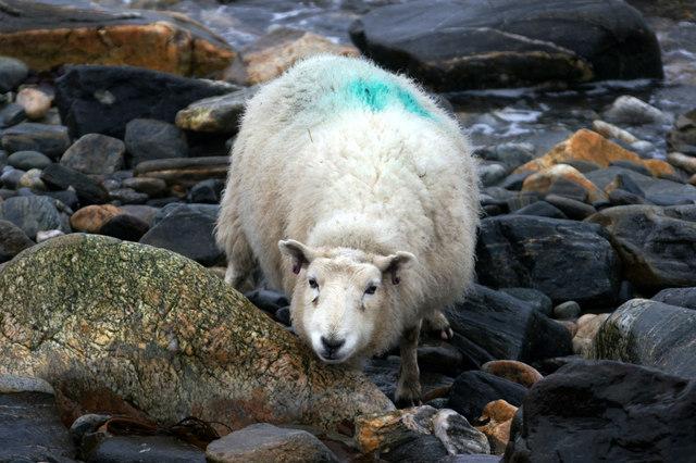 Shetland sheep on Westing beach