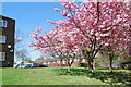 TQ2534 : Spring in Broadfield by Barry Shimmon