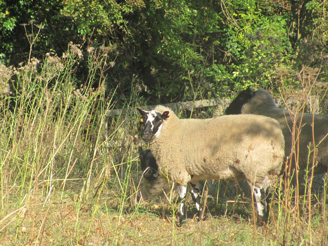Sheep by the bridge in the Millhoppers Reserve