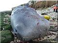 TF6741 : Dead sperm whale, Hunstanton - 11 by Richard Humphrey
