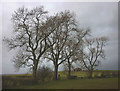 SD6373 : Large ash trees near Out Barn by Karl and Ali