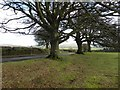SX5171 : Beech trees at southern end of Plaster Down by David Gearing