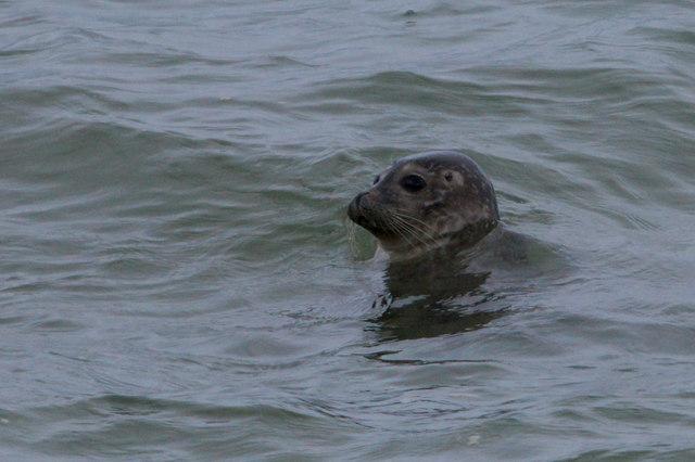 Common Seal (Phocaena vitulina), Westing