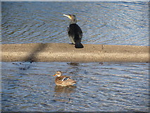 J3731 : A cormorant and a mallard hen in Castle Park Boating Lake by Eric Jones