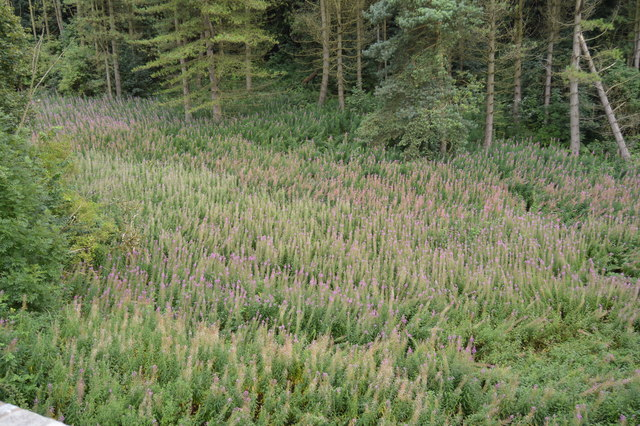 Willow Herbs, Cracknowl Wood