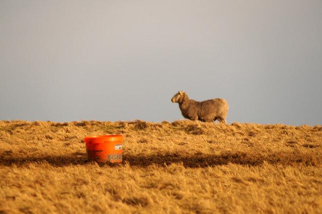 Sheep, and feeding bucket, Ramnageo