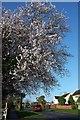 SX8965 : Cherry blossom, Shiphay Avenue, Torquay by Derek Harper