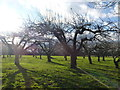 TQ7047 : Old orchard in Claygate Road near Laddingford by Ron Lee